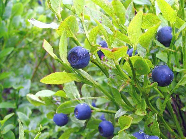 �Alguien sabe donde comprar la fruta o fruto que se llama Maqui o Maqui-berry?
