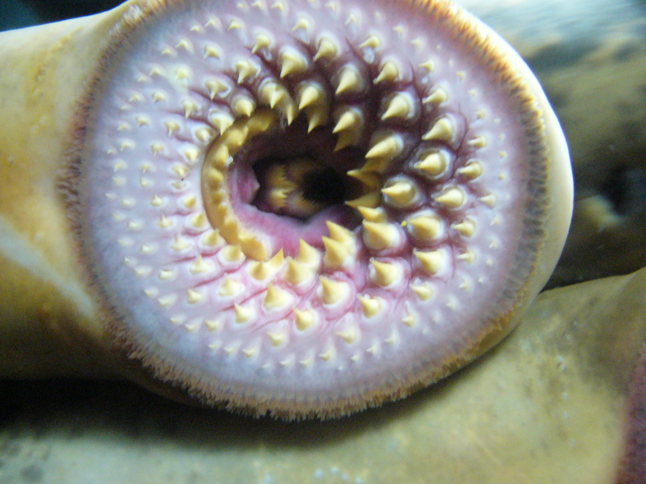 Mouth Of A Sea Lamprey Petromyzon Marinus