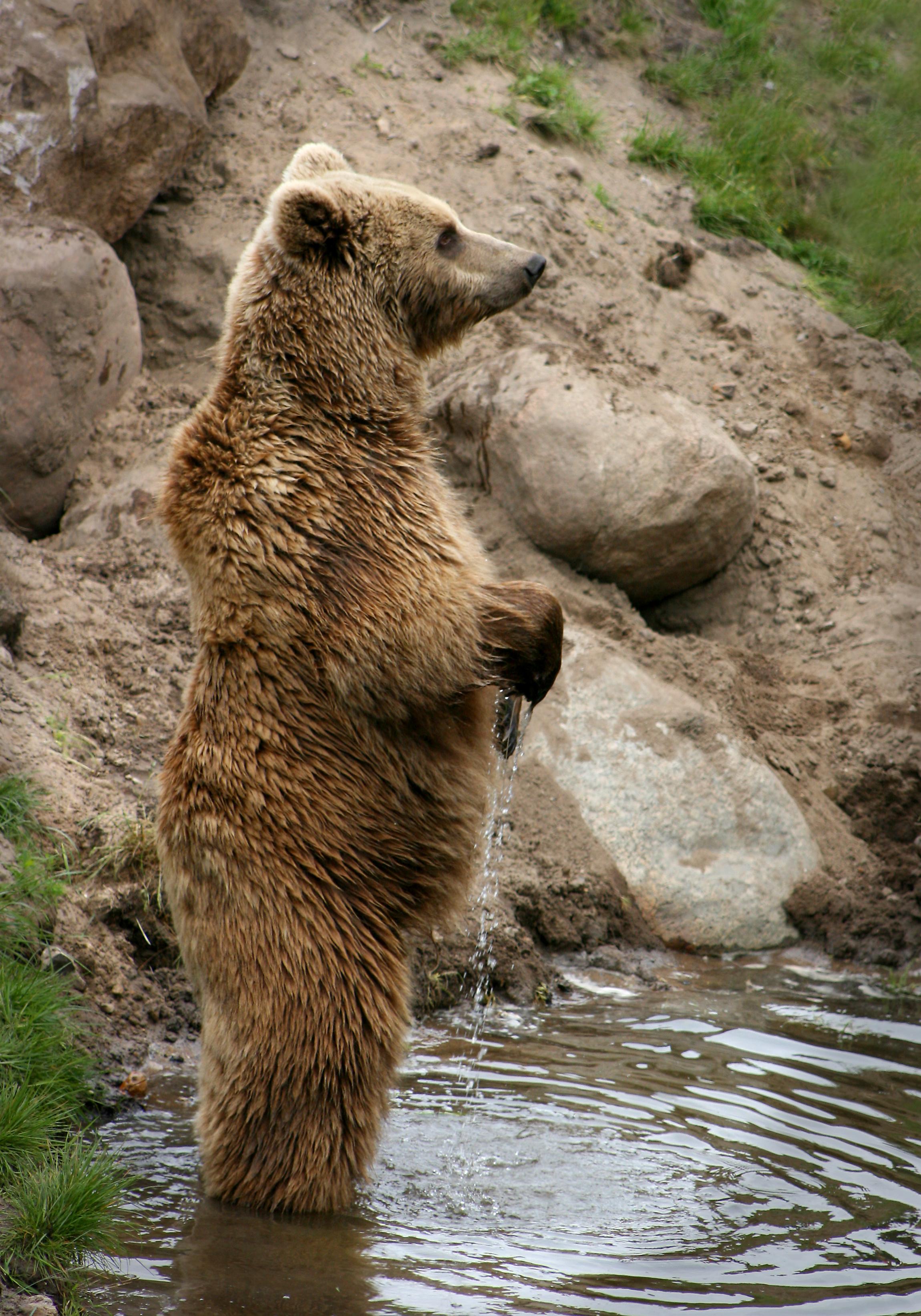 Il più grande Grizzly Bear uccisi