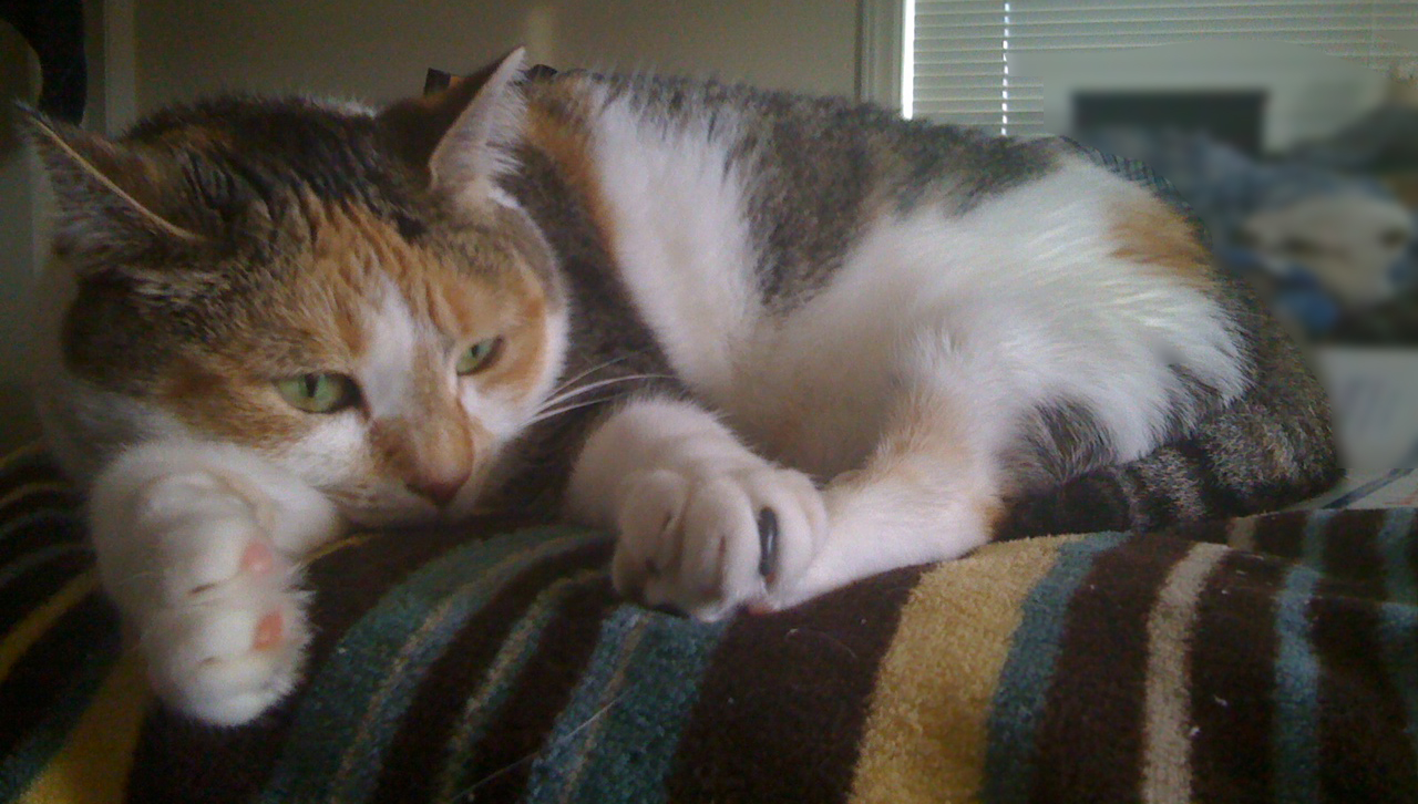 File:Calico cat with emerald eyes.jpg
