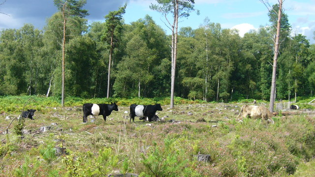 Cattle grazing on the Serpent Trail - geograph.org.uk - 1071937