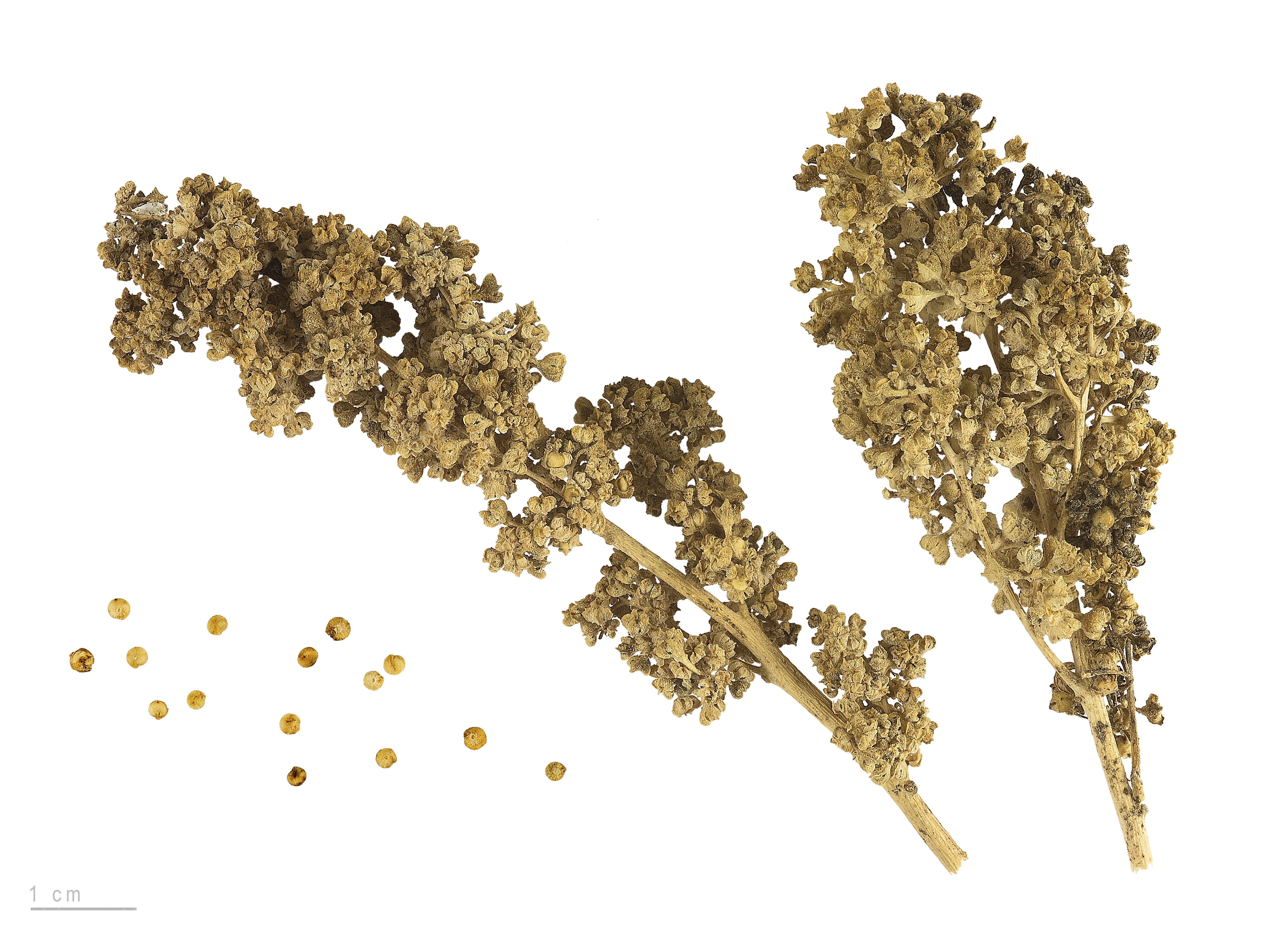 Quinoa d finition c 39 est quoi for Plante quinoa