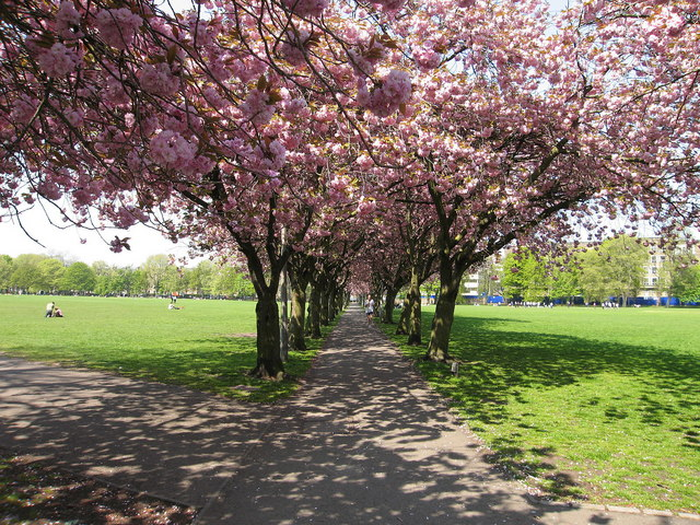 Cherry Trees, Coronation Walk - geograph.org.uk - 167692
