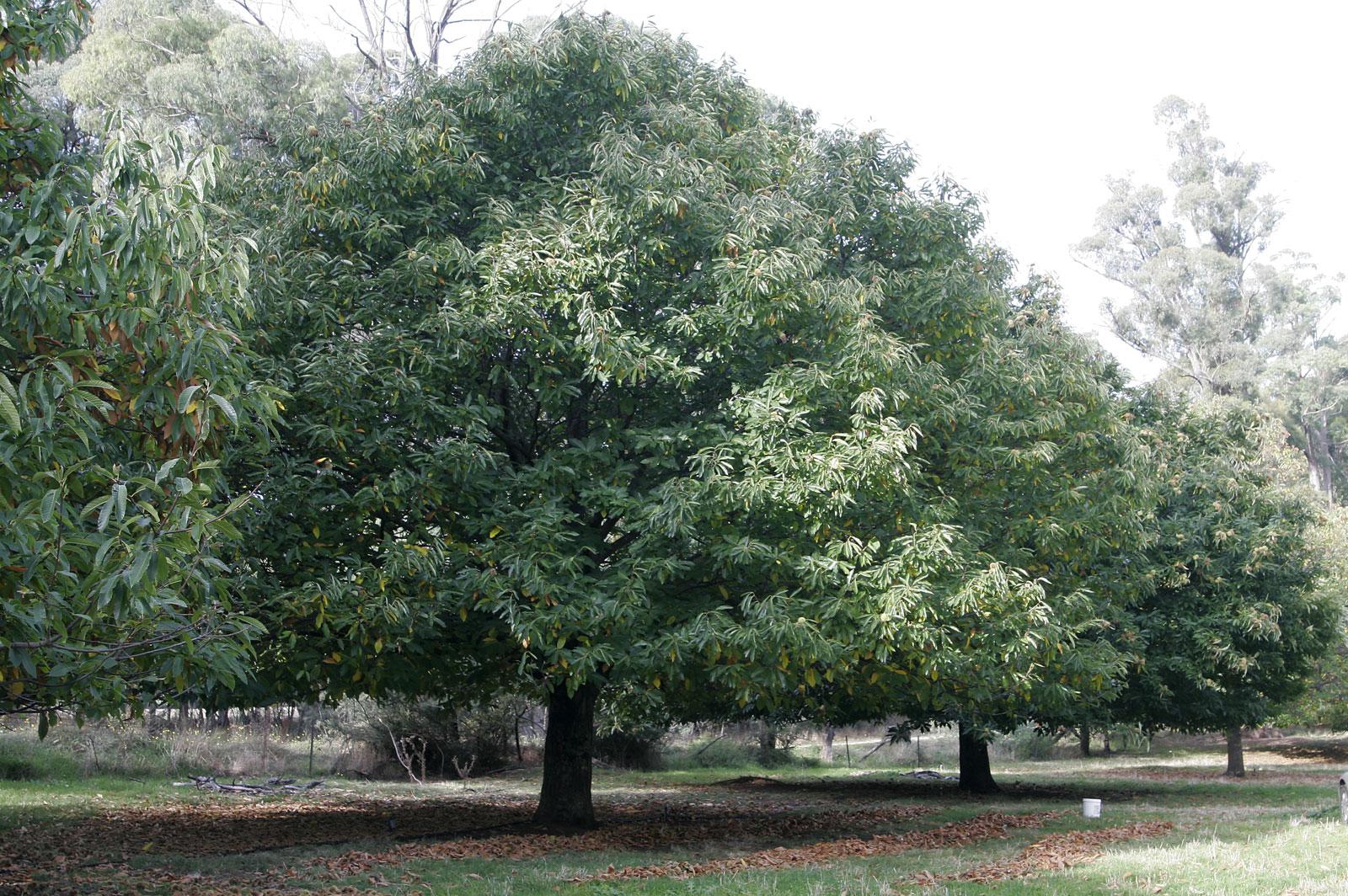 File chestnut wikimedia commons for The chestnut