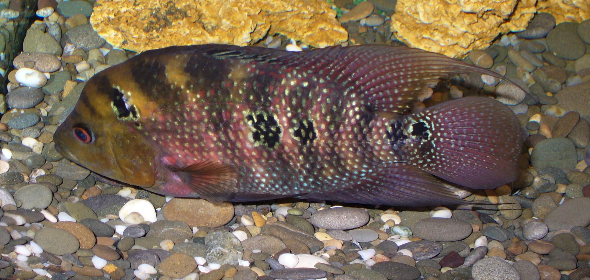 аквариумные рыбки фото и названия цихлиды описания #10
