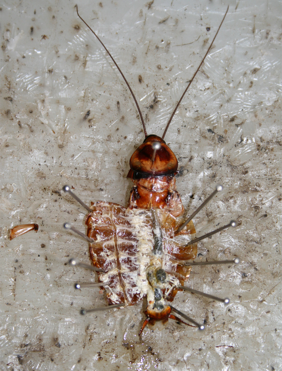 Termite Pest Controls: Video Of Dissection Of Cockroach