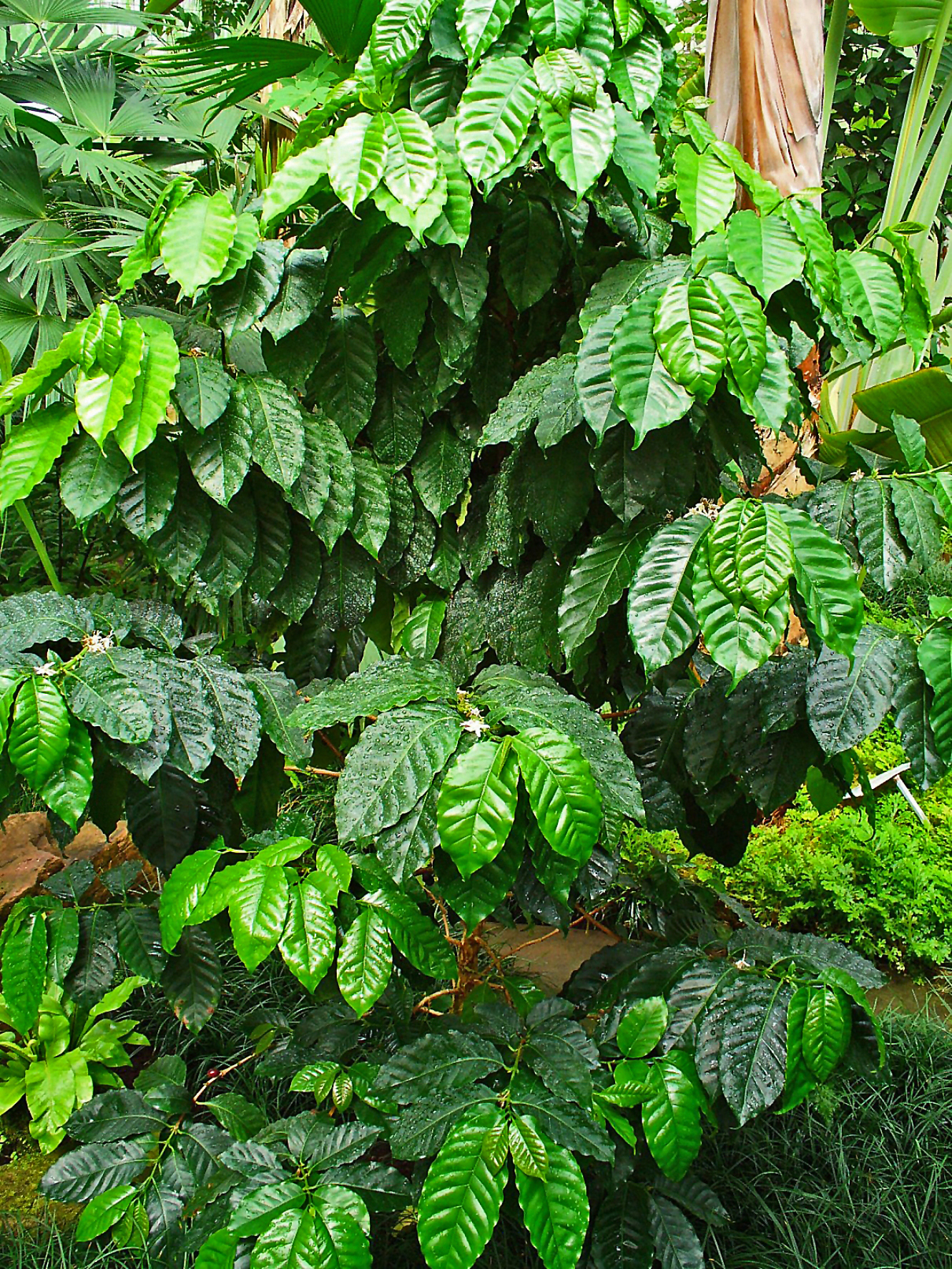 Arabica Coffee Tree Pictures