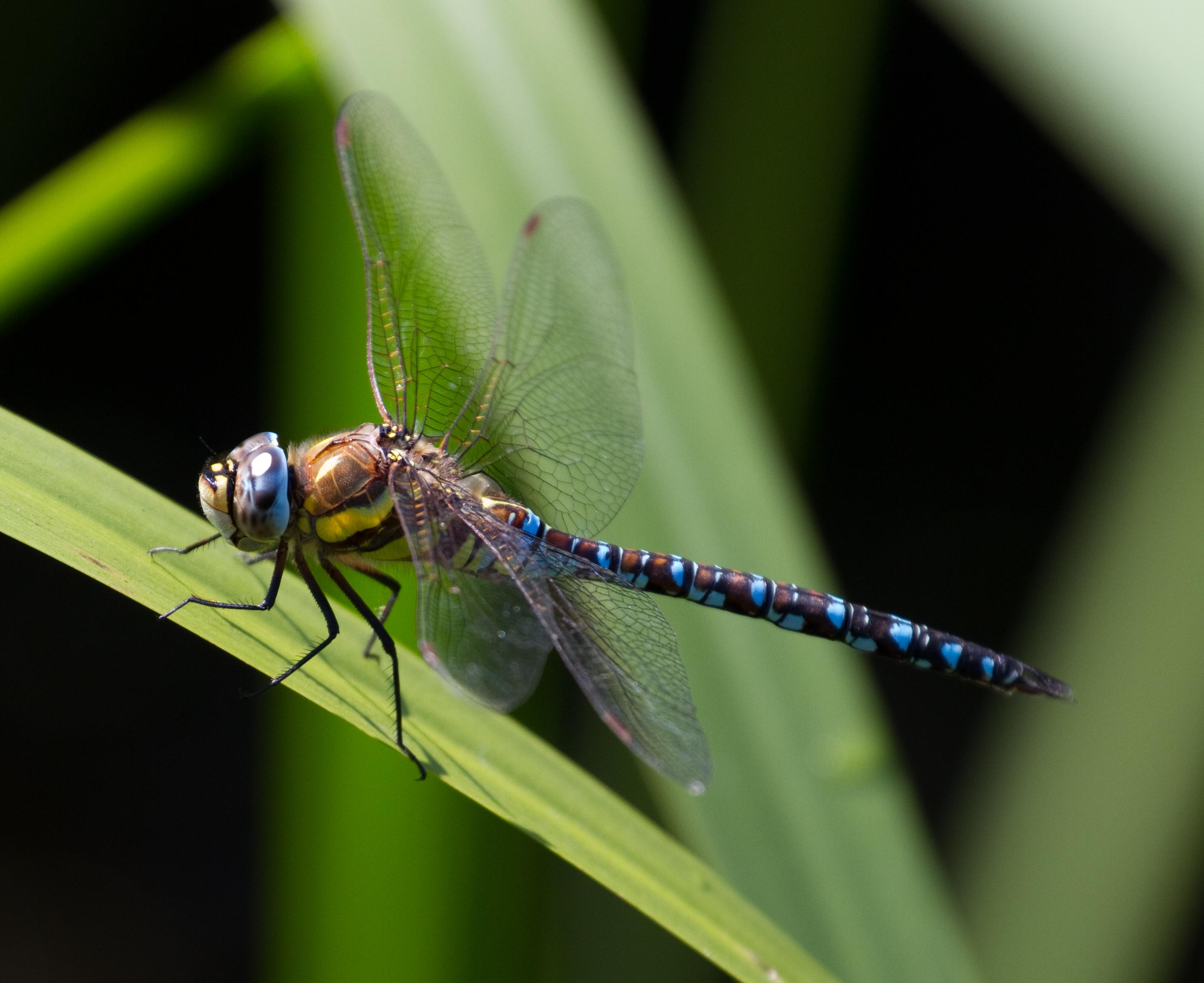 filecommon hawker dragonfly 9 6083392044jpg