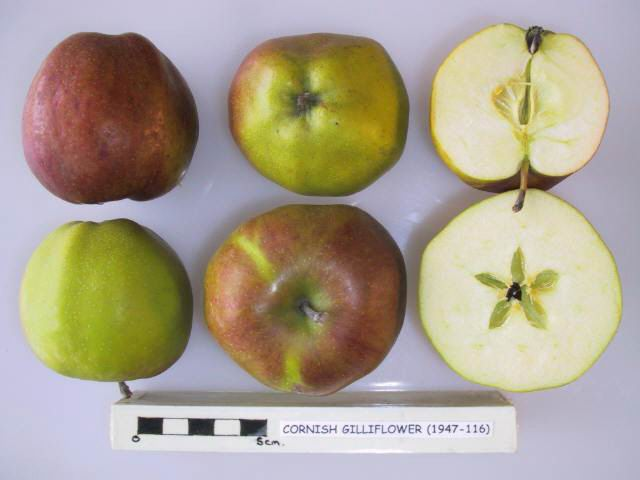 Cross section of Cornish Gilliflower, National Fruit Collection (acc. 1947-116)