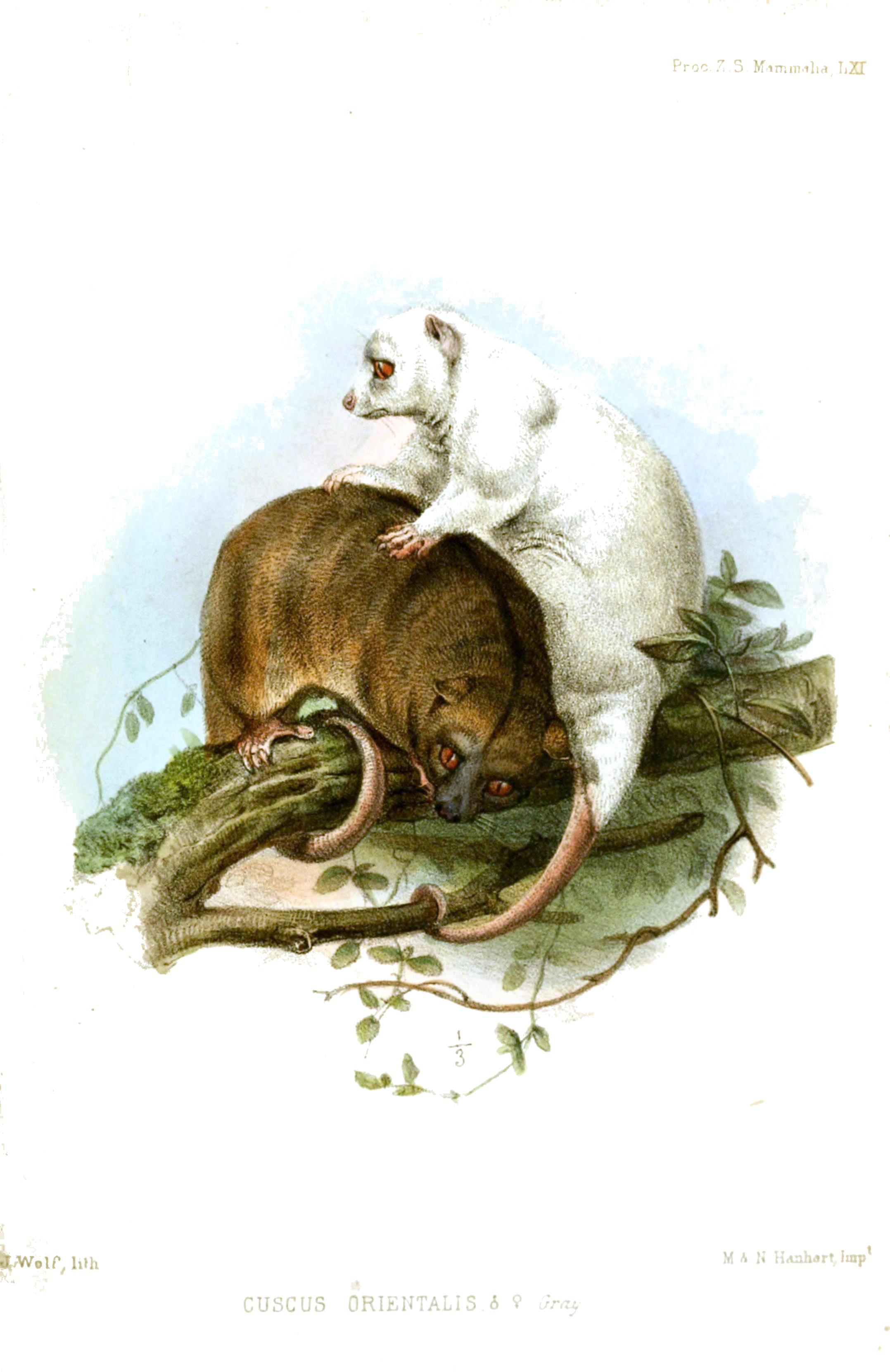 http://upload.wikimedia.org/wikipedia/commons/d/d0/CuscusOrientalisWolf.jpg