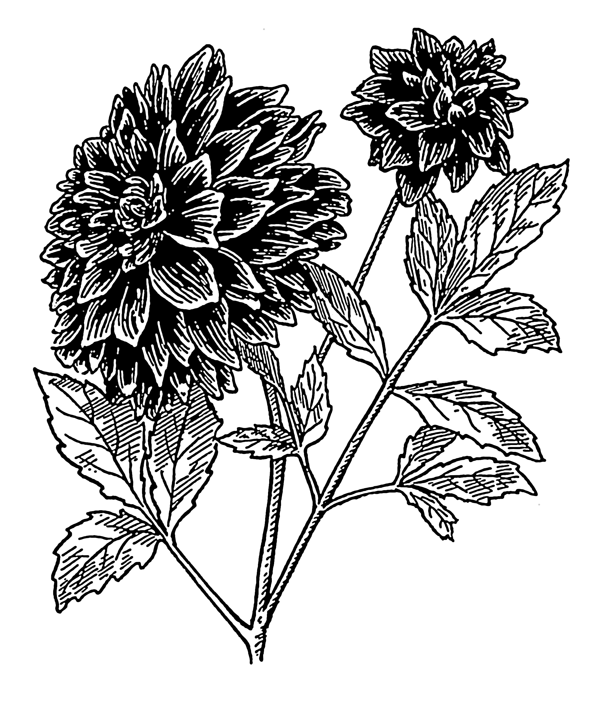 Line Drawing Wikipedia : File dahlia psf wikimedia commons