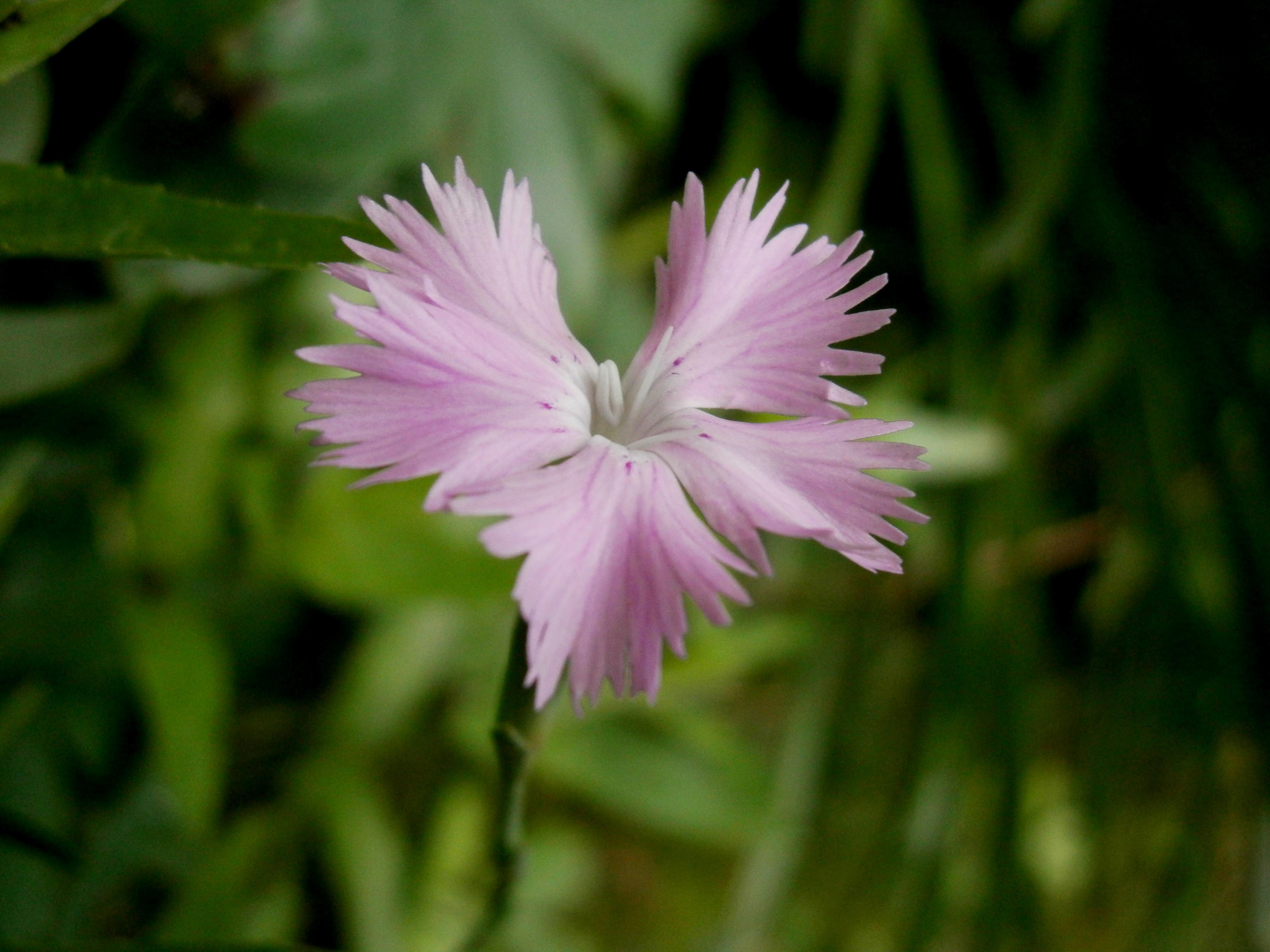 fichier:dianthus gallicus (fleur) 3 — wikipédia