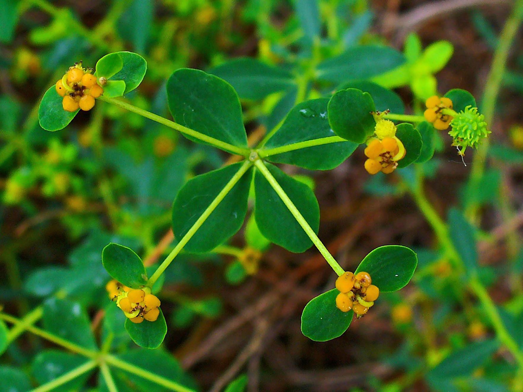 File:Euphorbia spinosa 002.JPG - Wikimedia Commons