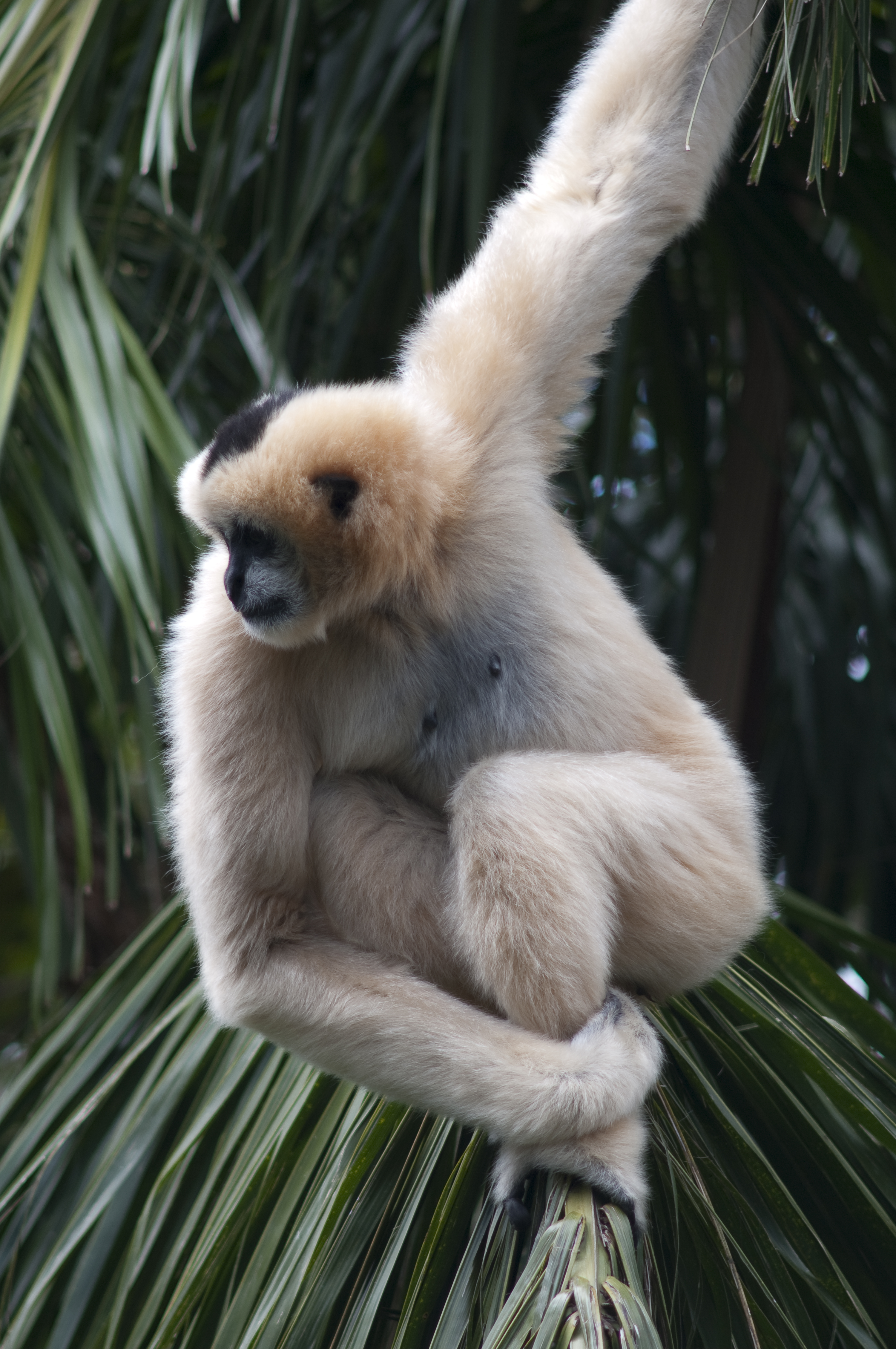 https://upload.wikimedia.org/wikipedia/commons/d/d0/Female_White-Cheeked_Gibbon.jpg