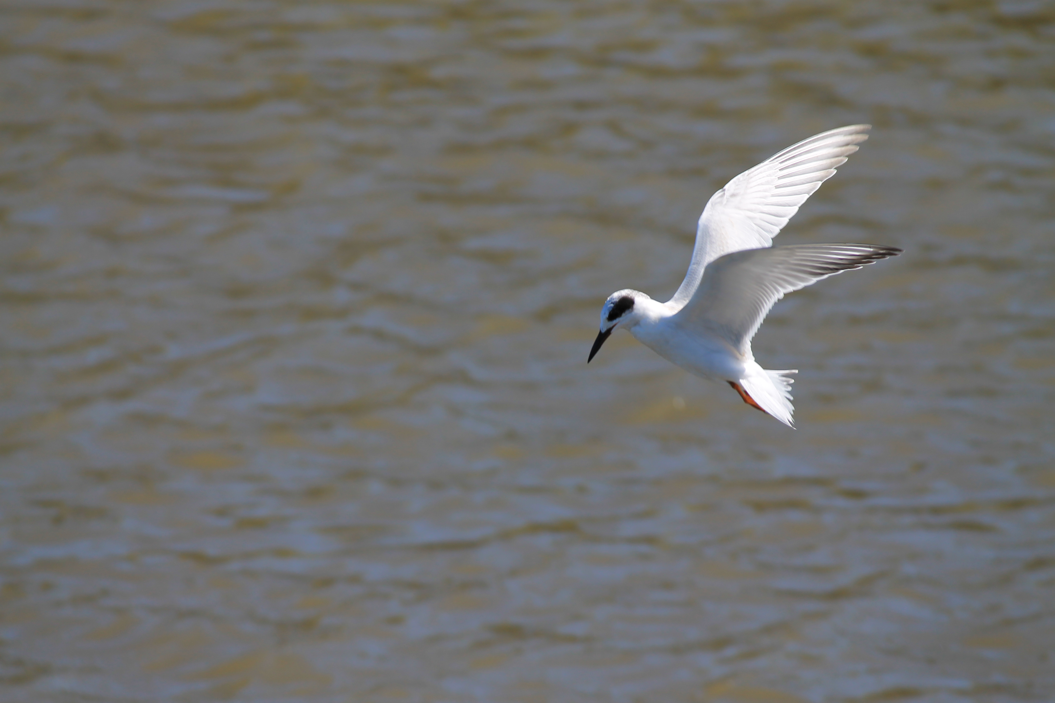 Forster's_Tern_in_flight,_winter_plumage