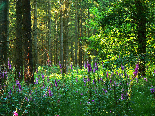 Foxgloves and pines, Savernake Forest - geograph.org.uk - 1370286