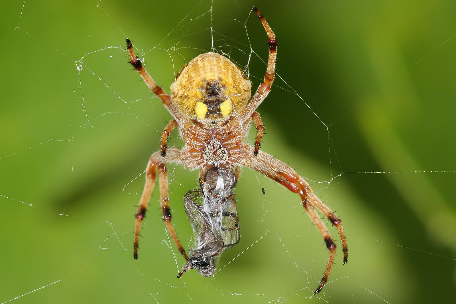 FileGarden orb weaver with robberflyjpg Wikimedia Commons
