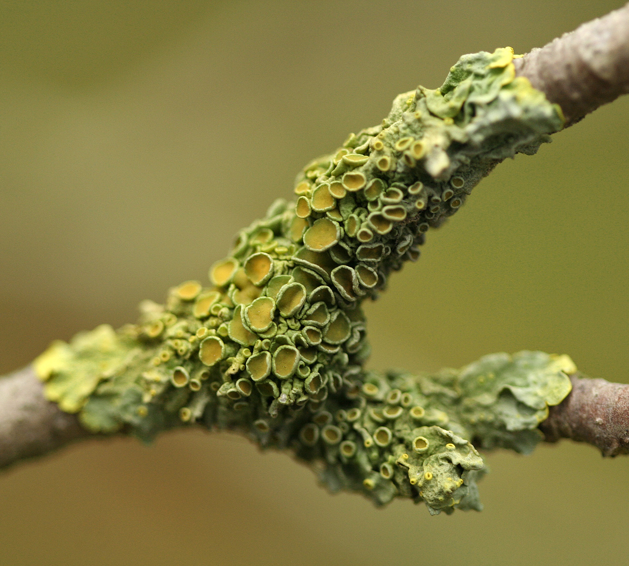 lichen and green algae relationship memes