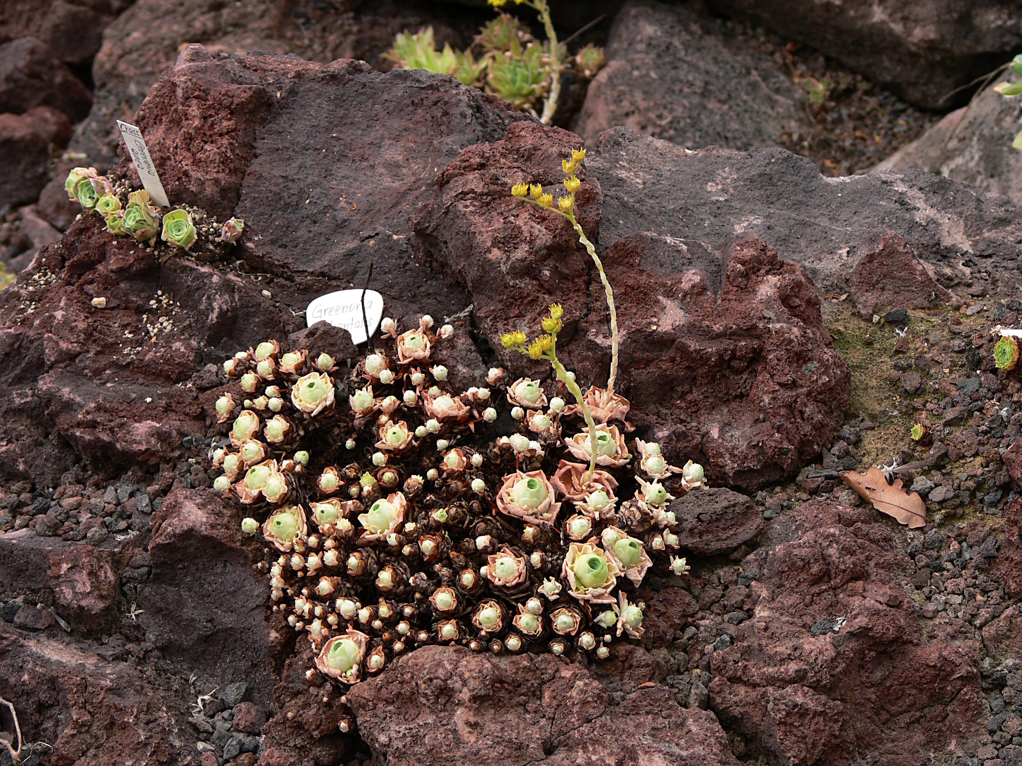 Aeonium dodrantale