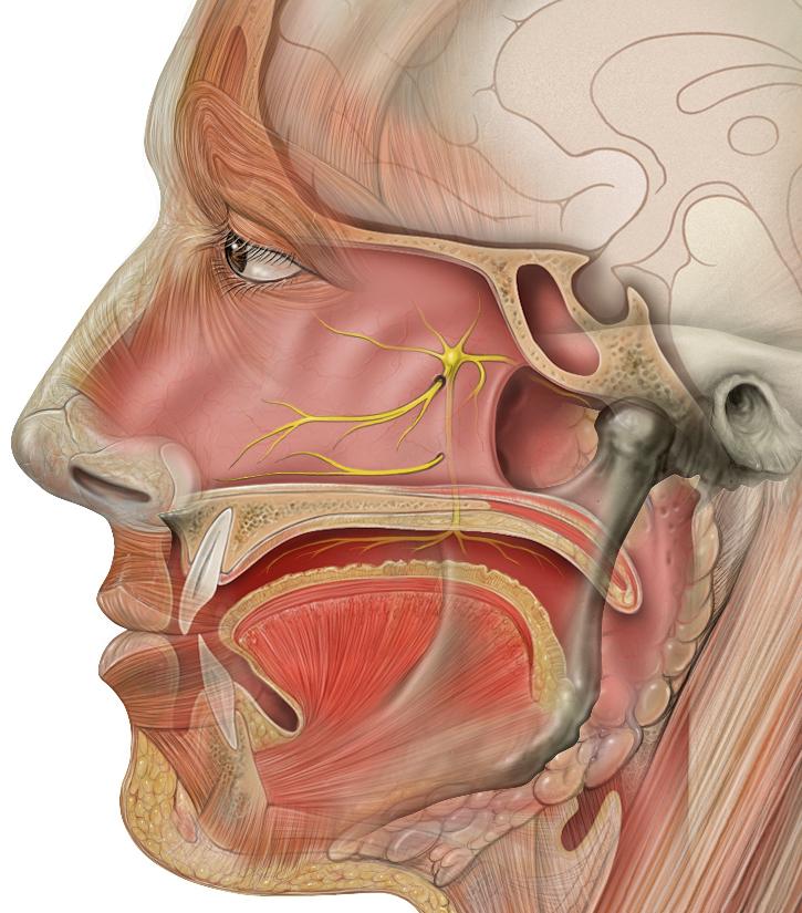 Nervus petrosus major - Wikiwand