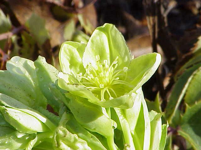 File:Helleborus lividus corsicus0.jpg