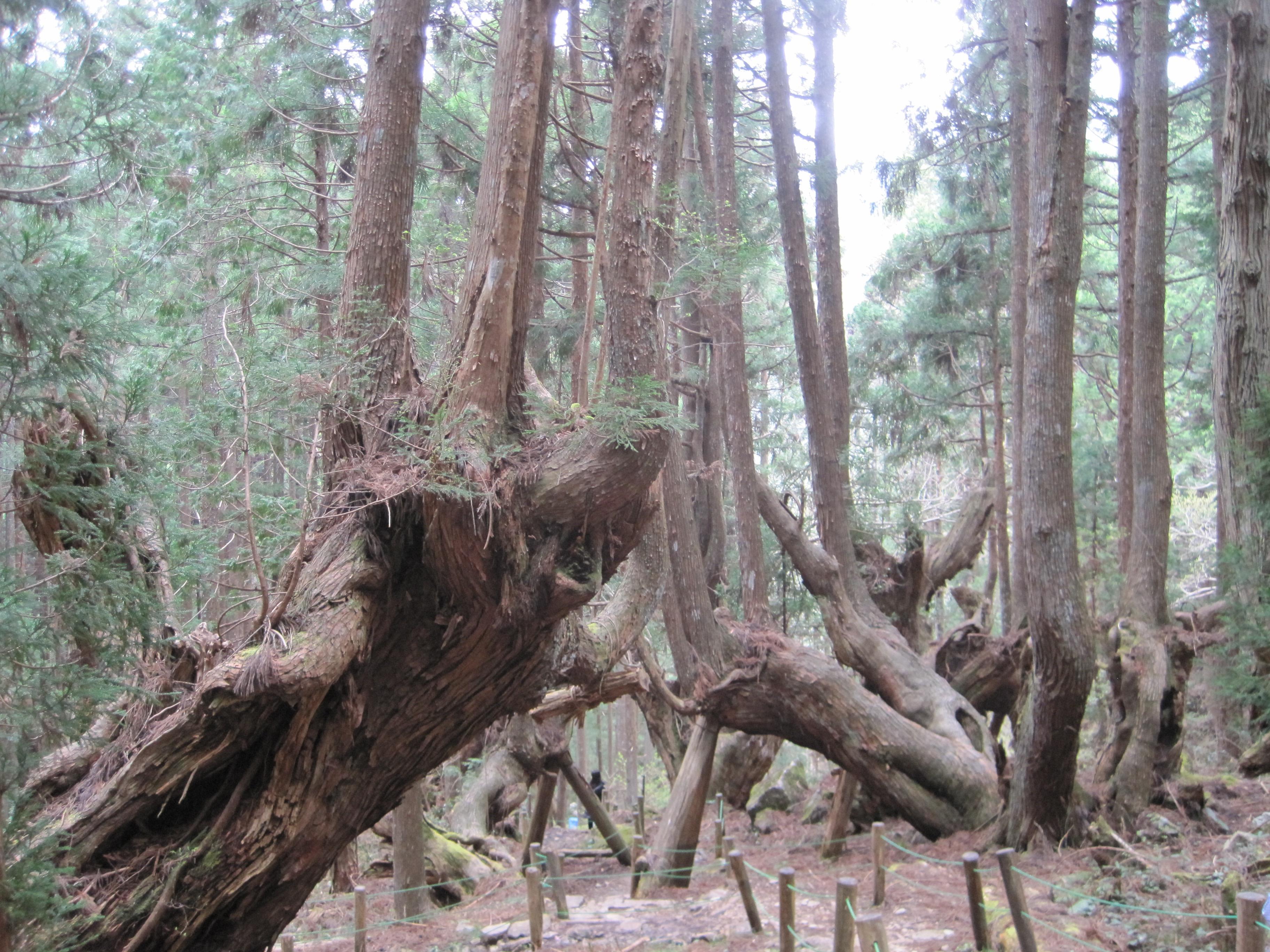 Huge Cedar group.jpg