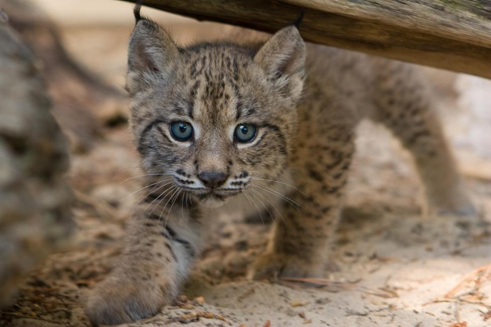 the iberian lynx habitat features and endangerment Endangered species: iberian lynx nickcsmith1 loading an endangered species - duration: test new features loading working.