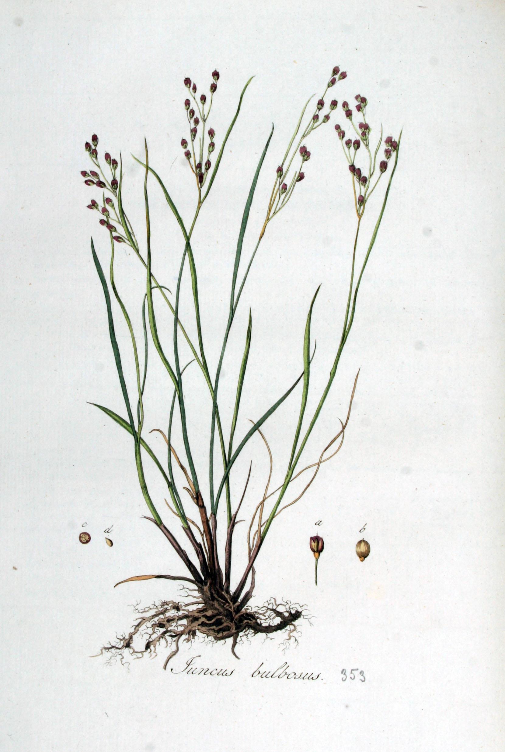 Juncus bulbosus — Flora Batava — Volume v5.jpg © Commons (Wikimedia Commons - CC-PD-Mark; GFDL; PD-old-100-expired)