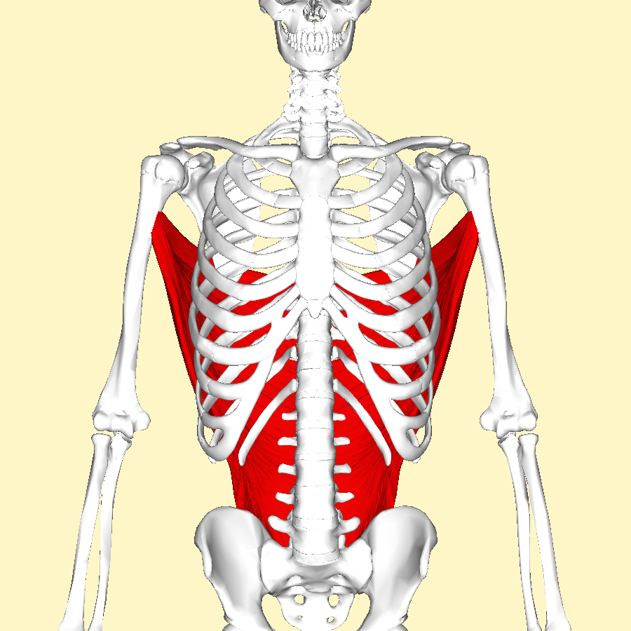 File:Latissimus dorsi muscle frontal2.png - Wikimedia Commons