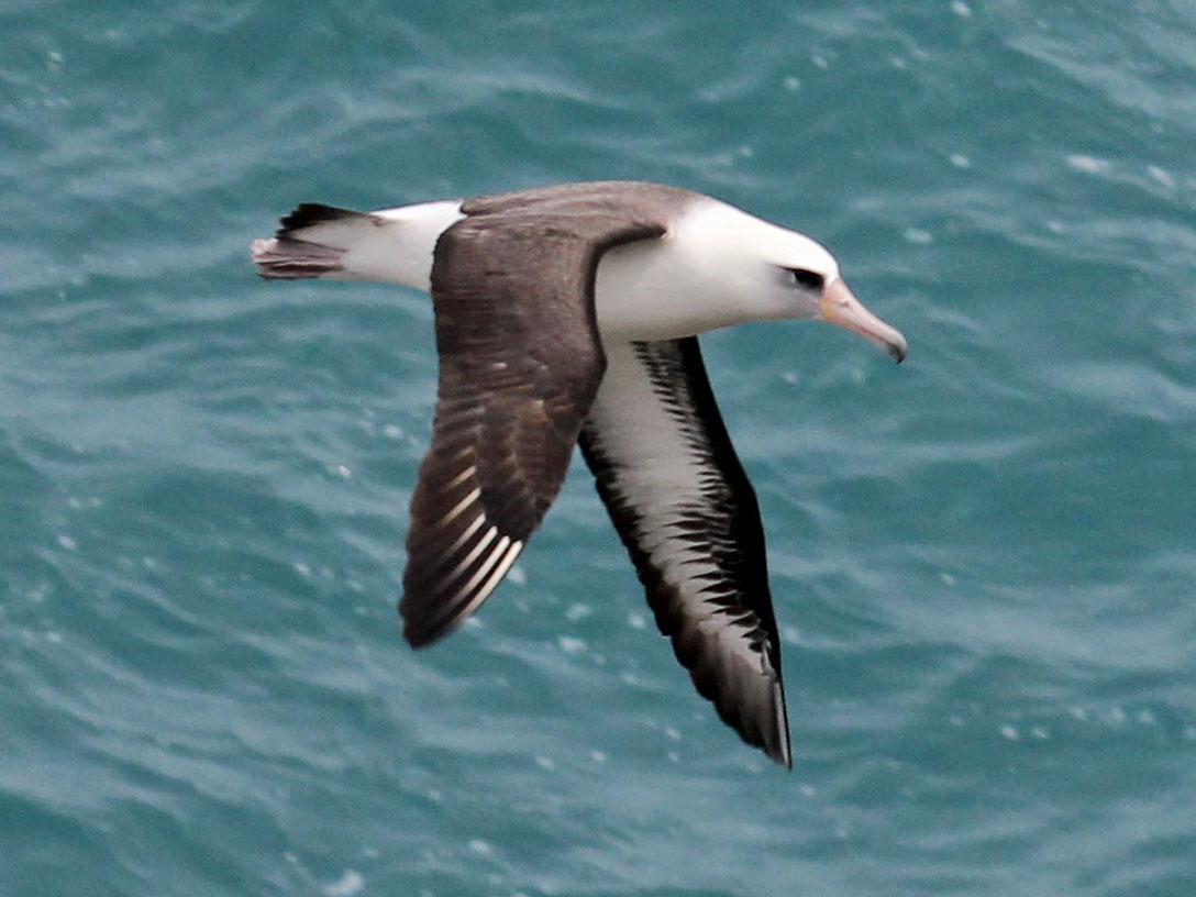 Laysan albatross homosexuality in japan