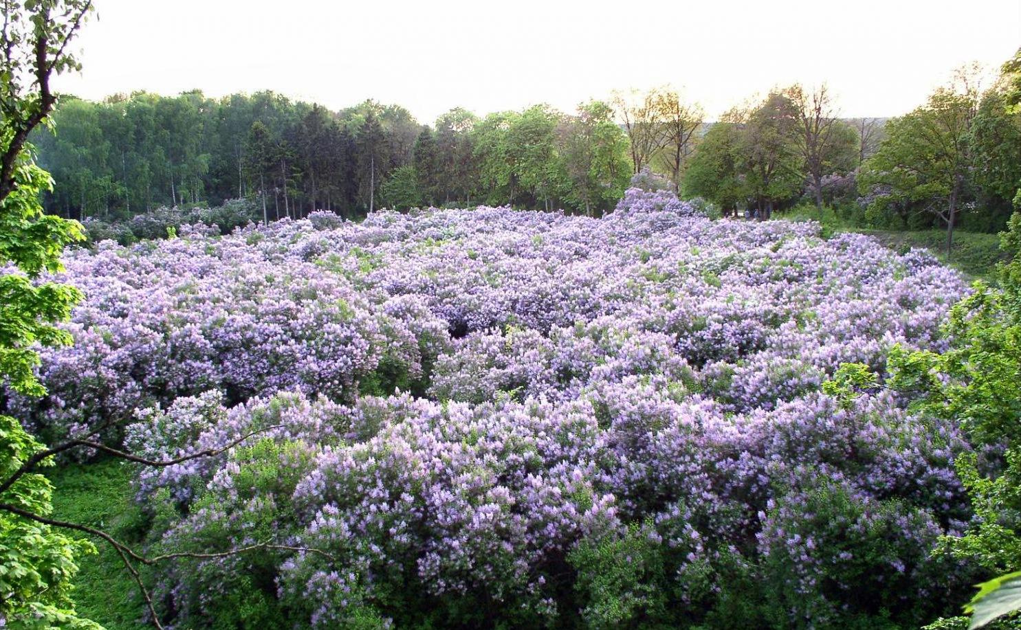 Lilac Grove in Dikanka..jpg