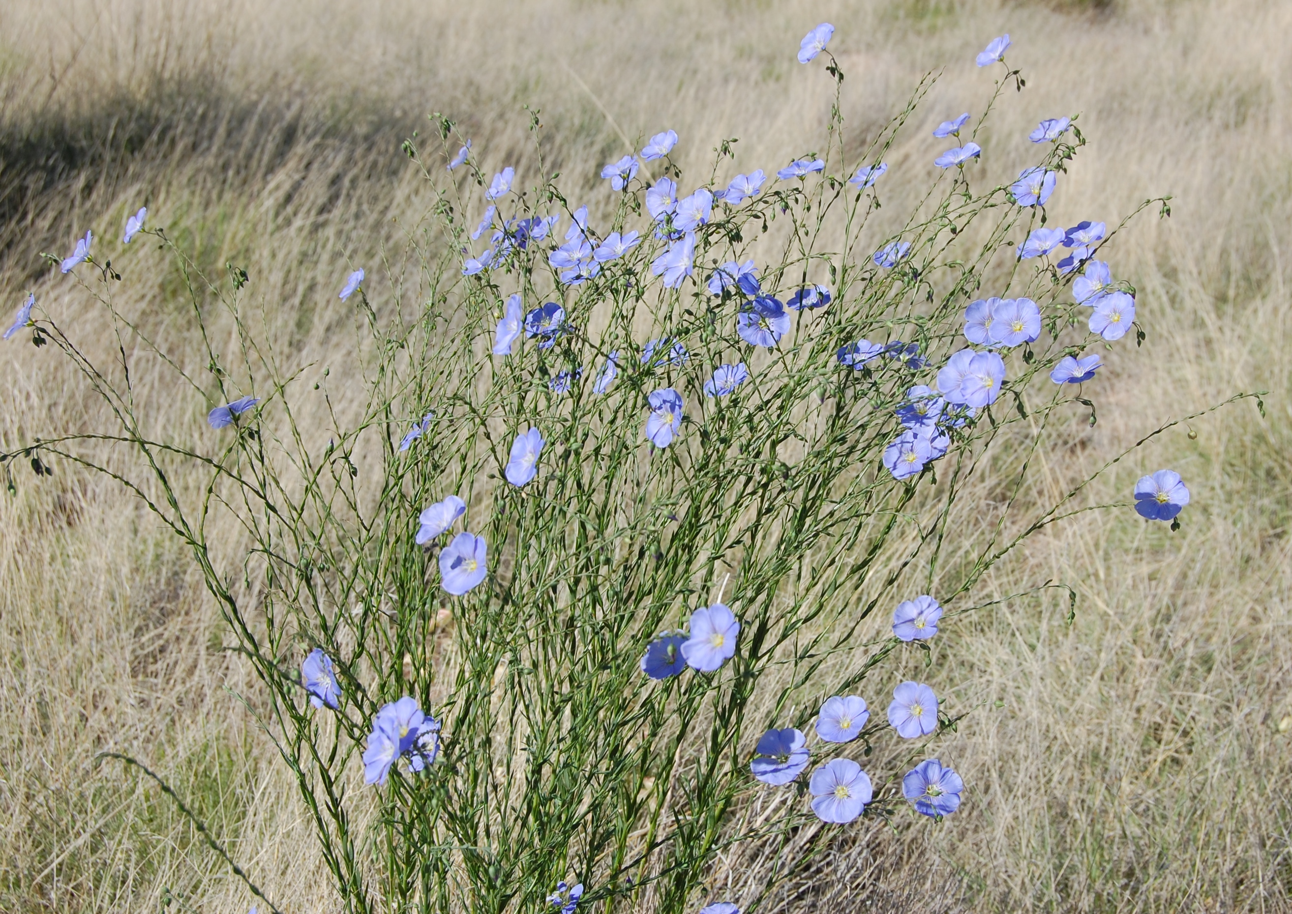 What does a flax plant look like 11