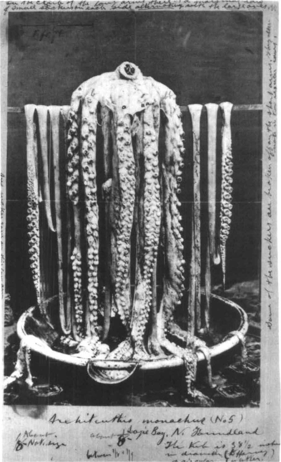 List of giant squid specimens and