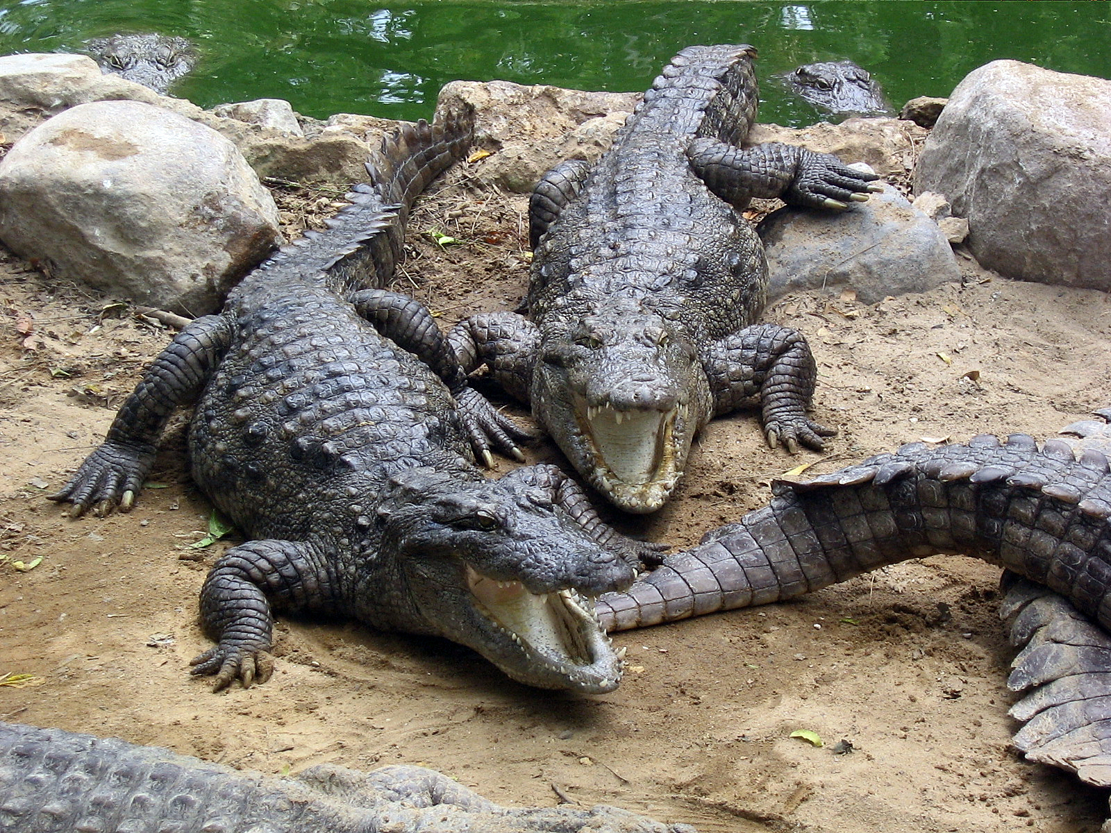 file marsh crocodiles basking