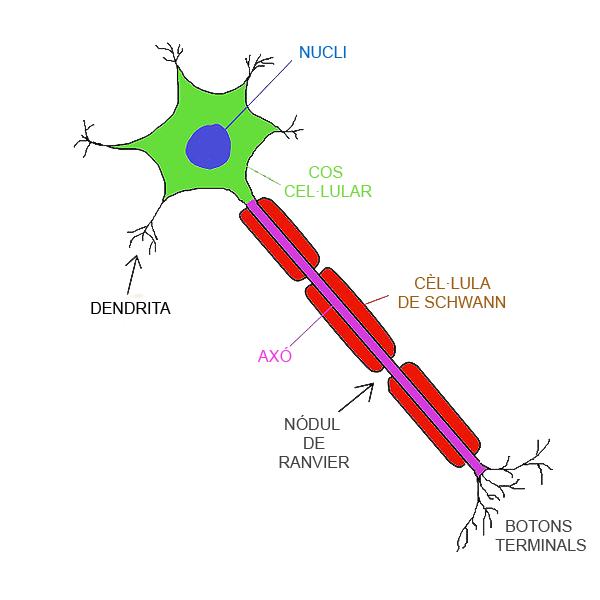 Axon simple english wikipedia the free encyclopedia ccuart Image collections