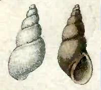 <i>Ondina obliqua</i> species of mollusc