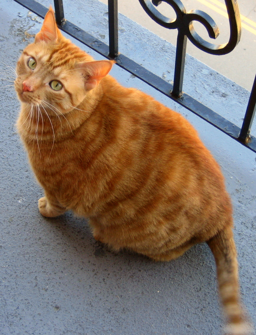 http://upload.wikimedia.org/wikipedia/commons/d/d0/Orange_Tabby_Cat_On_Balcony.jpg