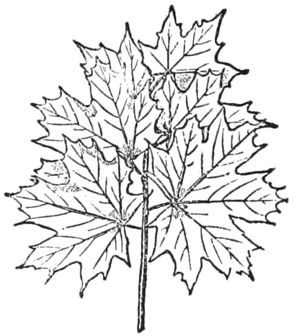 PSM V27 D368 Overlapping tree leaves of a short stem.jpg
