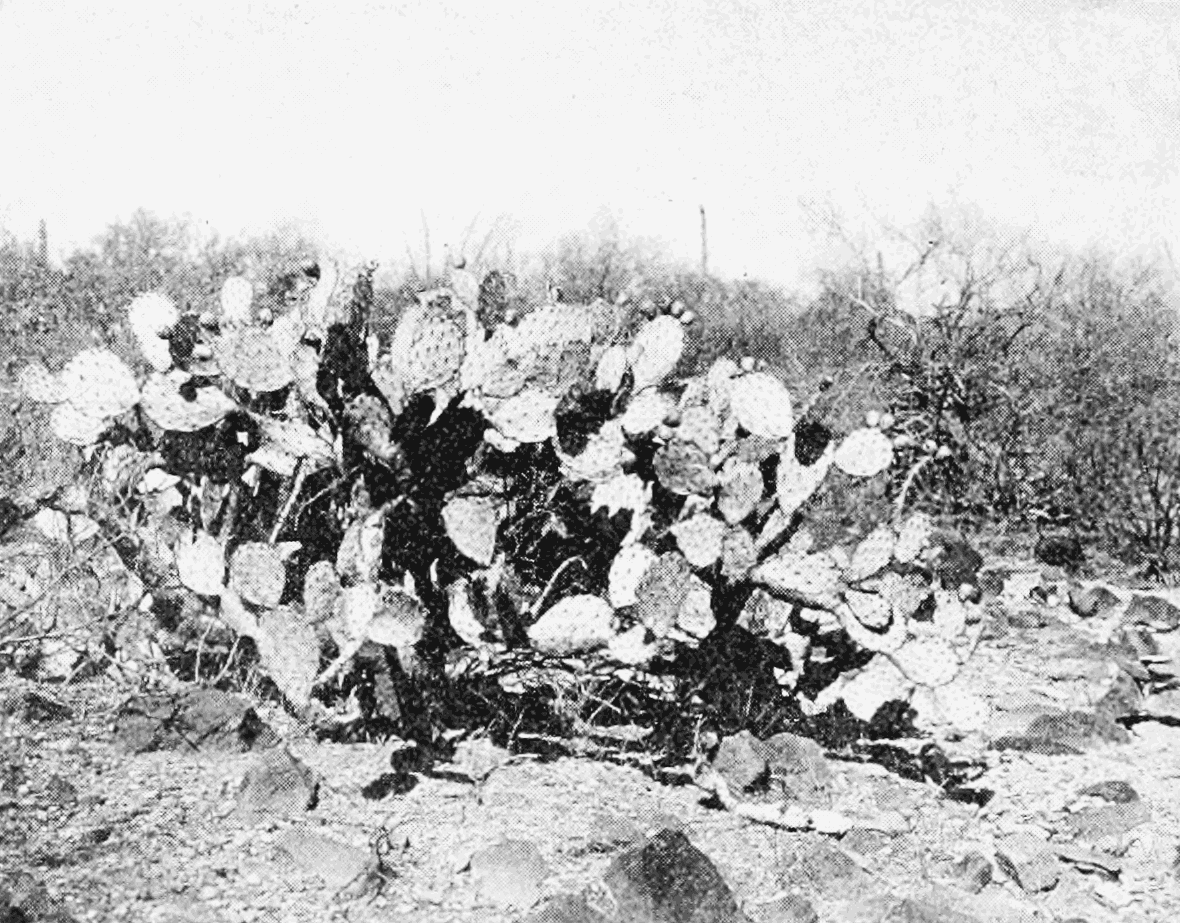 PSM V66 D338 Prickly pear.png