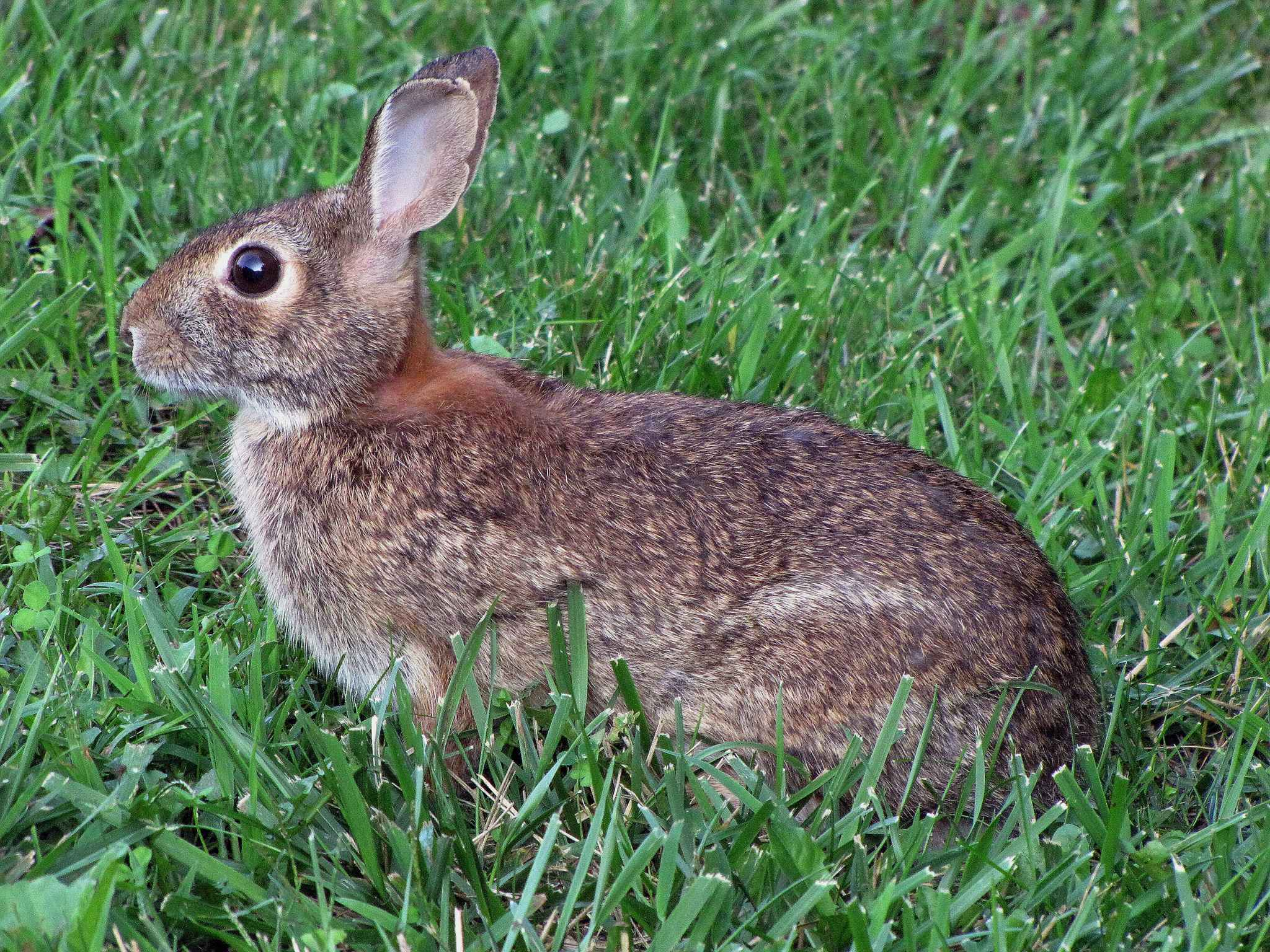 file rabbit in spring grass     wikimedia commons