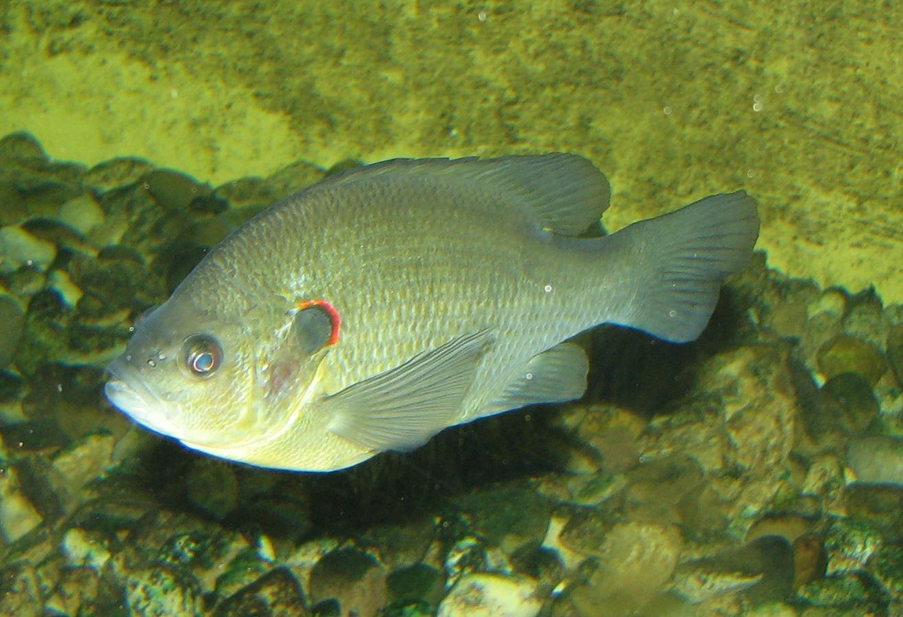 Description Redear Sunfish 002.jpg