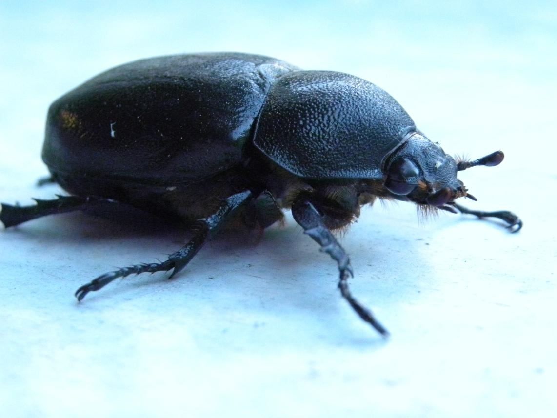 A rhinosaurus beetle