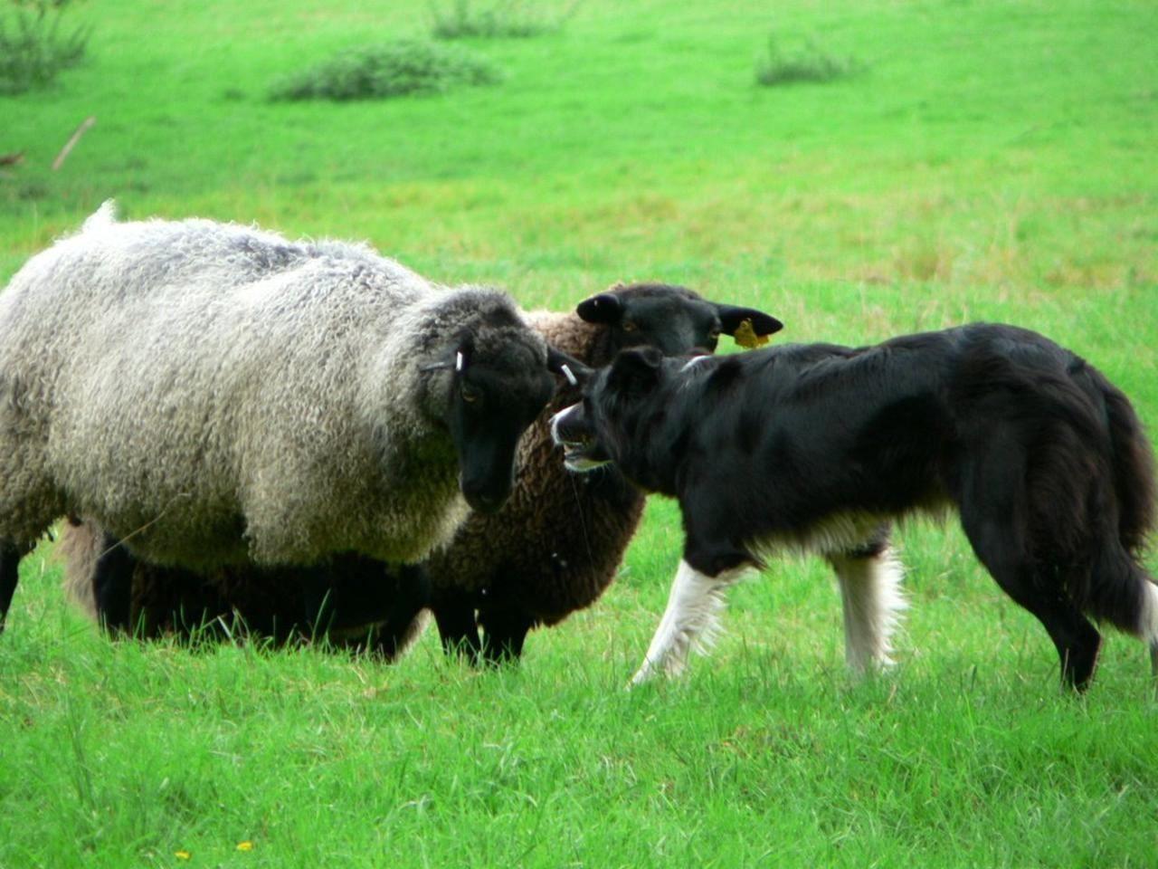 Dog Herding Sheep Into Kitchen In Uk