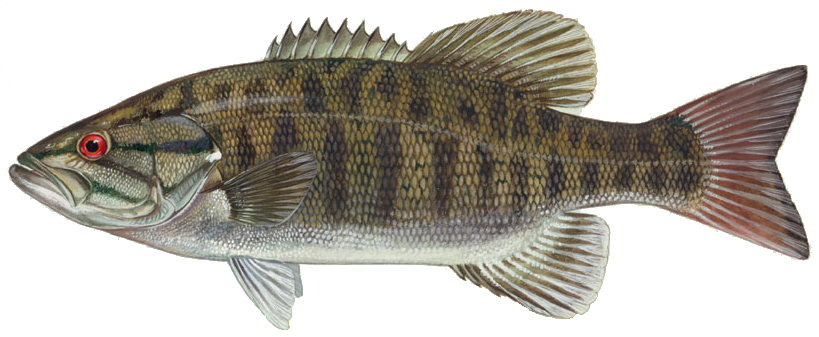 File smallmouth wikimedia commons for Bass fishing idaho