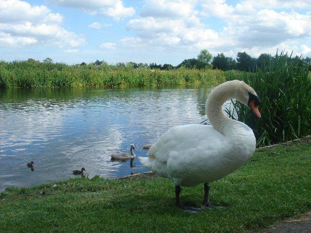 Swan at Nayland - geograph.org.uk - 186550