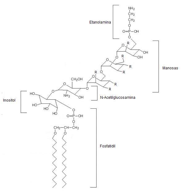 Glicosilfosfatidilinositol Wikipedia La Enciclopedia Libre