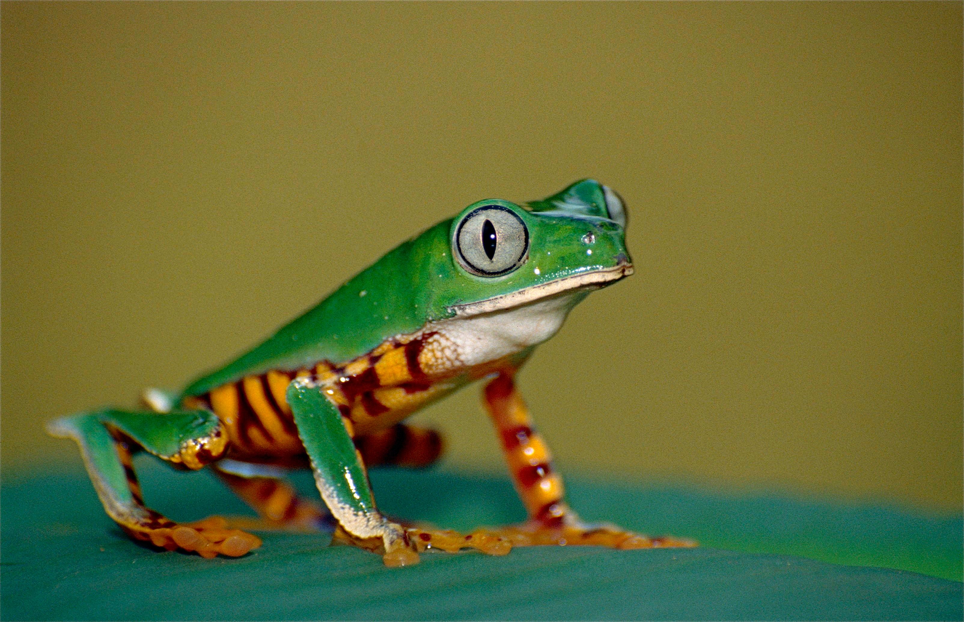 File:Tiger-striped Leaf Frog (Phyllomedusa Tomopterna