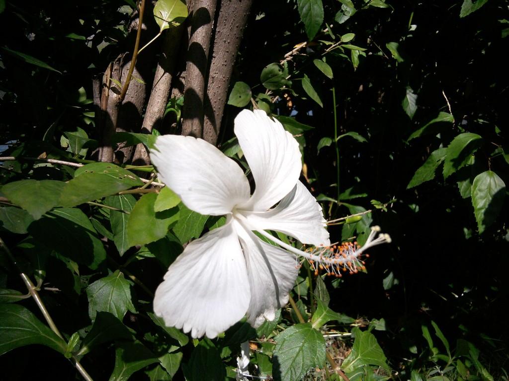 Filewhite Hibiscus Flowerg Wikimedia Commons