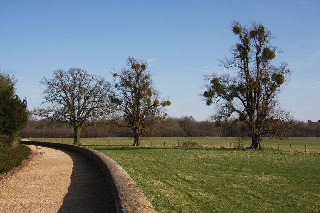 'Mistletoe' trees at Ickworth - geograph.org.uk - 1213042