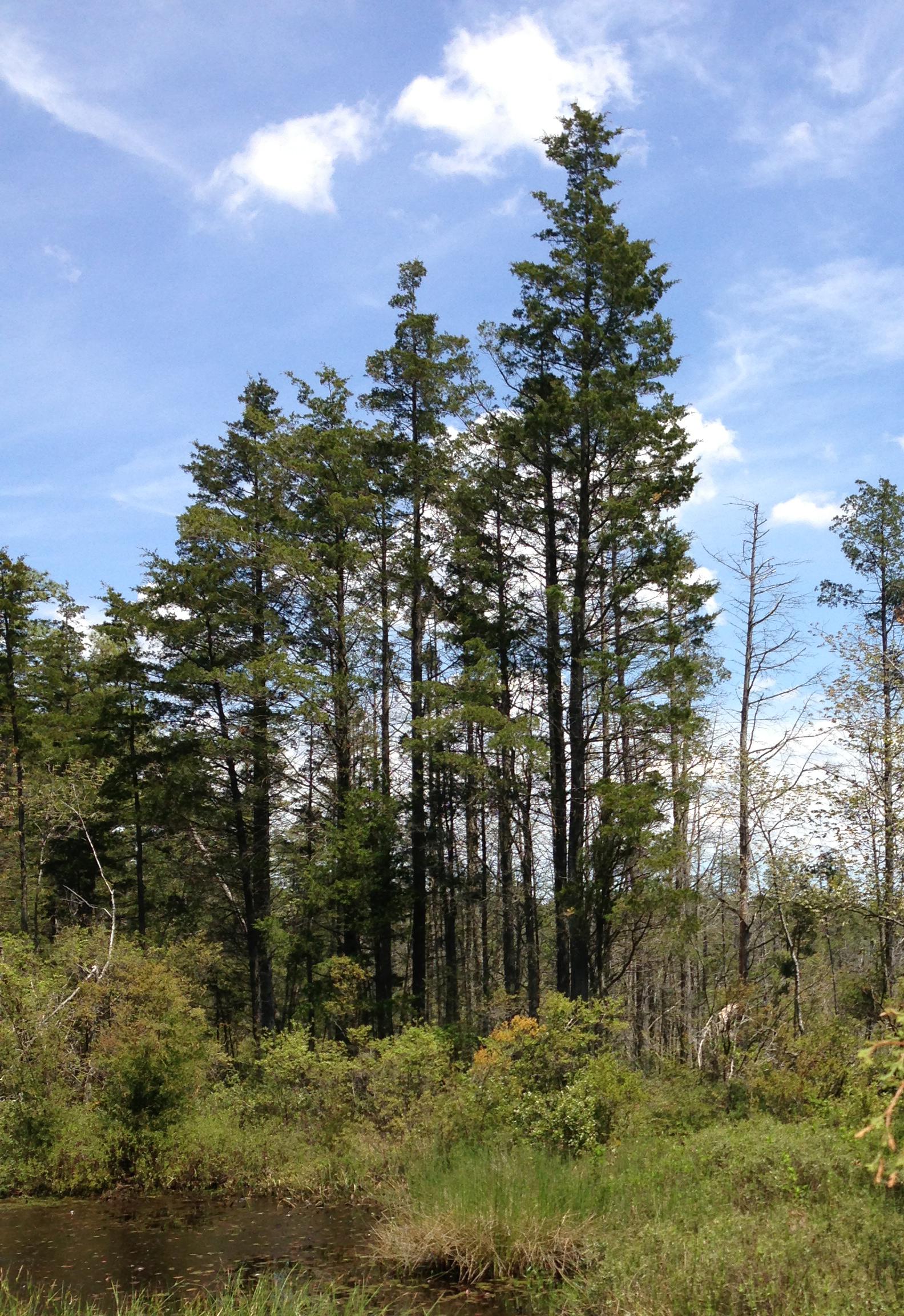 chamaecyparis thyoides cedar atlantic jersey state wikipedia forest along trail bog edge brendan mount